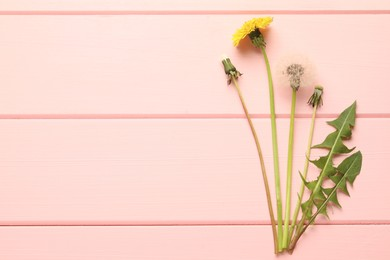 Beautiful dandelions in different stages of blooming on pink wooden table, flat lay. Space for text