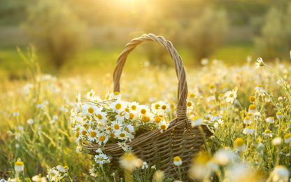 Wicker basket with beautiful chamomiles in meadow on sunny day
