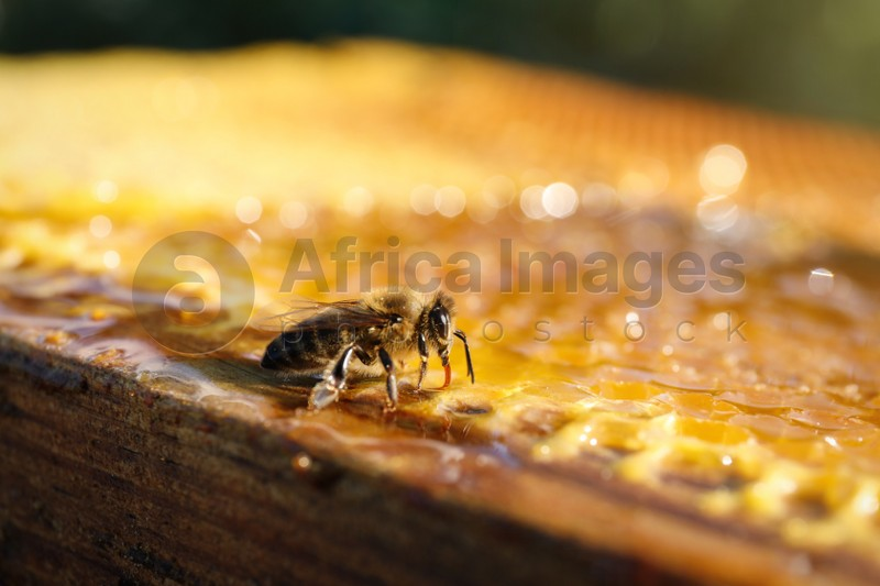 Closeup view of honeycomb frame with bee