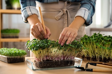 Woman taking care of microgreen at wooden table indoors, closeup