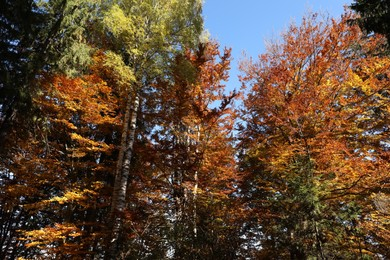 Beautiful trees with colorful leaves in autumn forest
