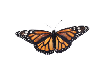 Beautiful fragile monarch butterfly isolated on white
