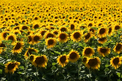 Many beautiful sunflowers in field on sunny day