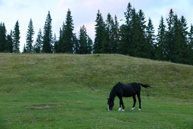 Horse grazing on pasture outdoors. Lovely domesticated pet