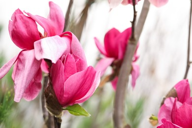 Closeup view of beautiful blooming magnolia tree outdoors. Space for text