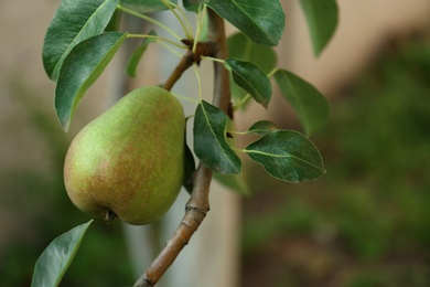 Ripe pear on tree branch in garden, closeup. Space for text