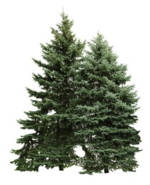 Beautiful evergreen fir trees on white background