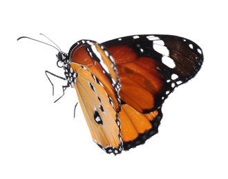 Beautiful painted lady butterfly isolated on white