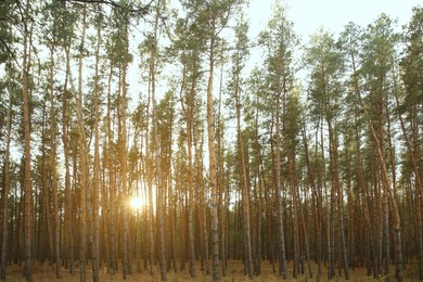 Beautiful pine forest with growing young trees