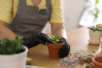 Woman potting succulent plant on wooden table at home, closeup. Engaging hobby