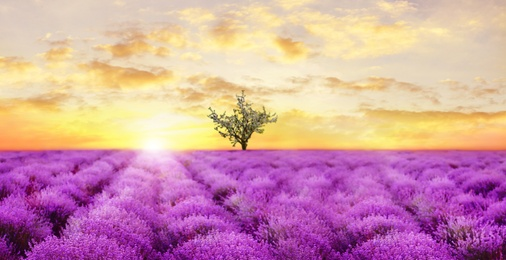 Beautiful lavender field with single tree under amazing sky at sunset. Banner design
