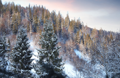 Snowy fir trees in cold winter forest