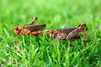 Brown grasshoppers on lawn outdoors. Wild insect