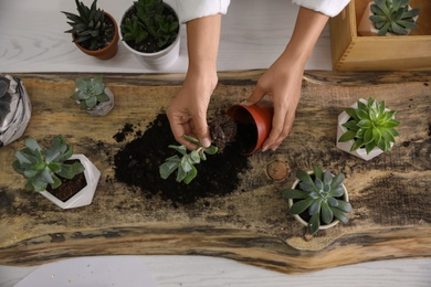 Woman planting succulents at wooden table indoors, top view