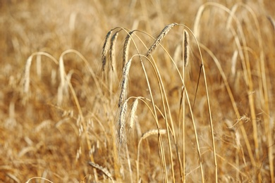 Spikelets in wheat field on sunny day. Cereal grain crop