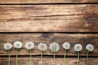 Beautiful dandelion seed heads on wooden table, flat lay. Space for text