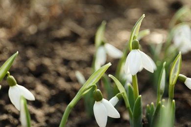 Beautiful snowdrops growing outdoors, closeup. Early spring flowers