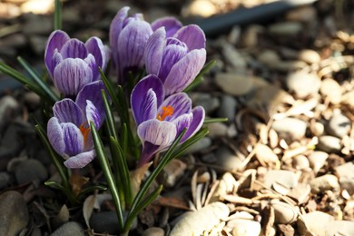 Beautiful crocus flowers outdoors, closeup. Space for text