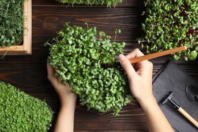 Woman taking care of microgreen at wooden table, top view