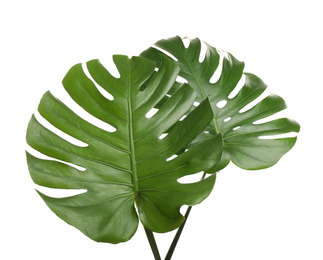 Fresh green tropical leaves on white background