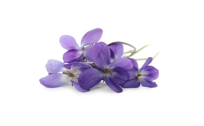 Beautiful wood violets on white background. Spring flowers