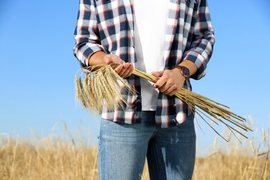 Farmer with wheat spikelets in field, closeup. Cereal grain crop