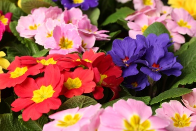 Beautiful primula (primrose) plants with colorful flowers as background, closeup. Spring blossom
