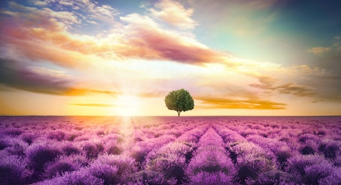 Beautiful lavender field with single tree under amazing sky at sunset