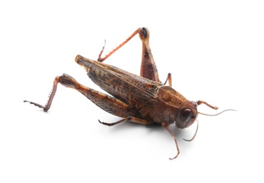 Brown grasshopper isolated on white. Wild insect