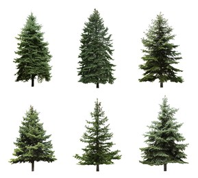 Beautiful evergreen fir trees on white background, collage