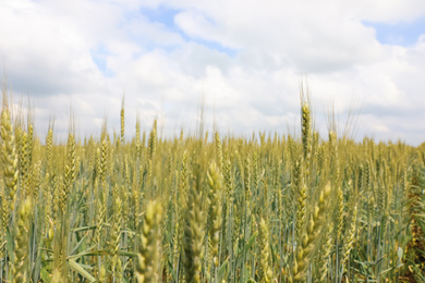 Agricultural field with ripening cereal crop under cloudy sky, closeup view