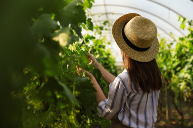 Woman working with grape plants in greenhouse