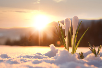 Beautiful crocuses growing through snow, space for text. First spring flowers