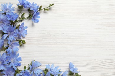Beautiful chicory flowers on white wooden background, flat lay. Space for text