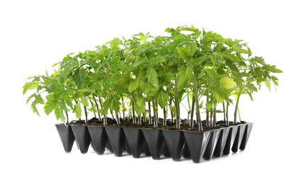 Green tomato plants in seedling tray isolated on white