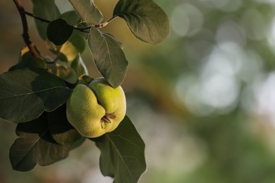 Quince tree branch with fruit outdoors, closeup. Space for text