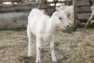 Cute goatling on pasture at farm. Baby animal