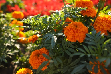Beautiful view of marigold flowers outdoors on sunny day