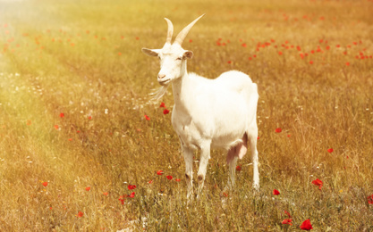 Beautiful white goat in field on sunny day. Animal husbandry