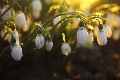 Fresh blooming snowdrops covered with dew growing in soil. Spring flowers