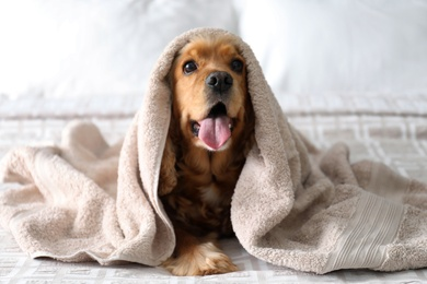 Cute English Cocker Spaniel covered with towel on bed. Pet friendly hotel