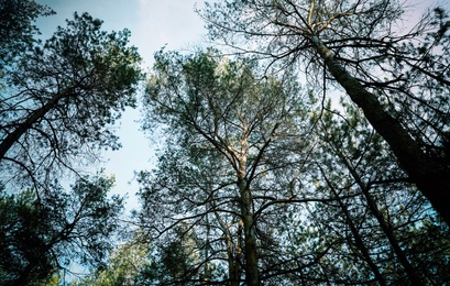 Low angle view of pine forest. Fantasy setting