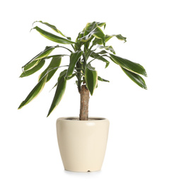 Pot with Dracaena plant isolated on white. Home decor