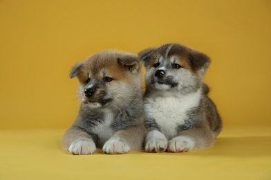 Adorable Akita Inu puppies on yellow background