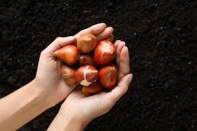 Woman holding pile of tulip bulbs over soil, top view. Space for text