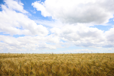 Beautiful agricultural field with ripening cereal crop