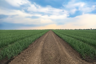 Rows of green onion in agricultural field