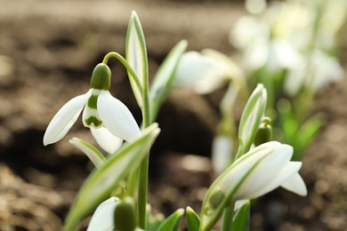 Beautiful snowdrop growing outdoors, closeup. Early spring flower
