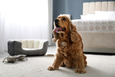Cute English Cocker Spaniel indoors. Pet friendly hotel