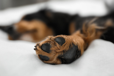 Cute dog relaxing at home, focus on paw. Friendly pet